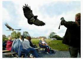 Eagles Flying / Irish Raptor Research Centre