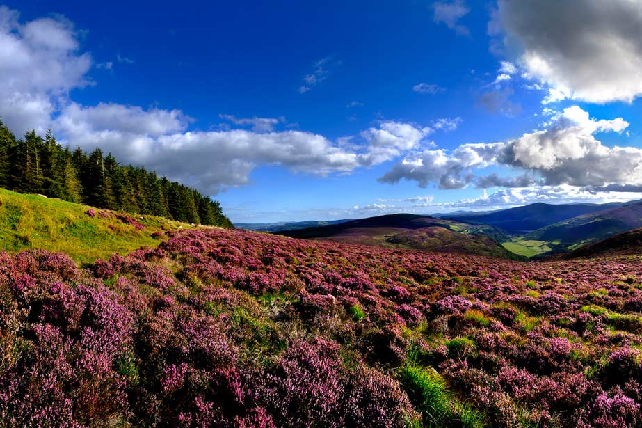 Views of heather and the Wicklow Mountains, Co. Wicklow