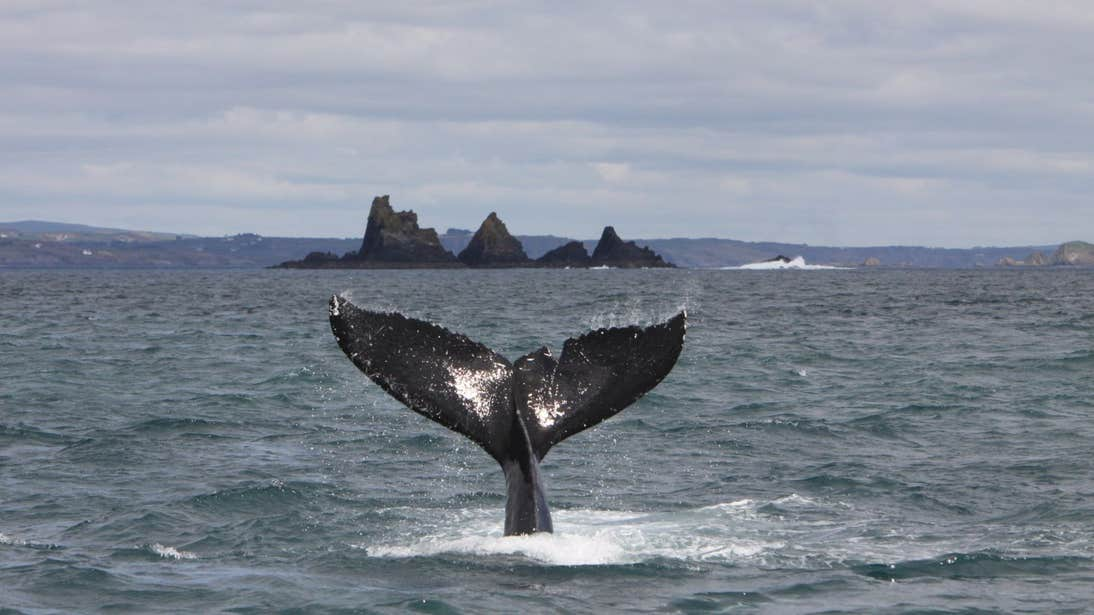A view of a humpback whale on the west coast of Cork