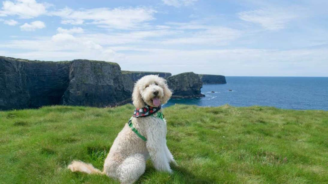 Dog at Kilkee Cliffs, Clare, on a sunny day