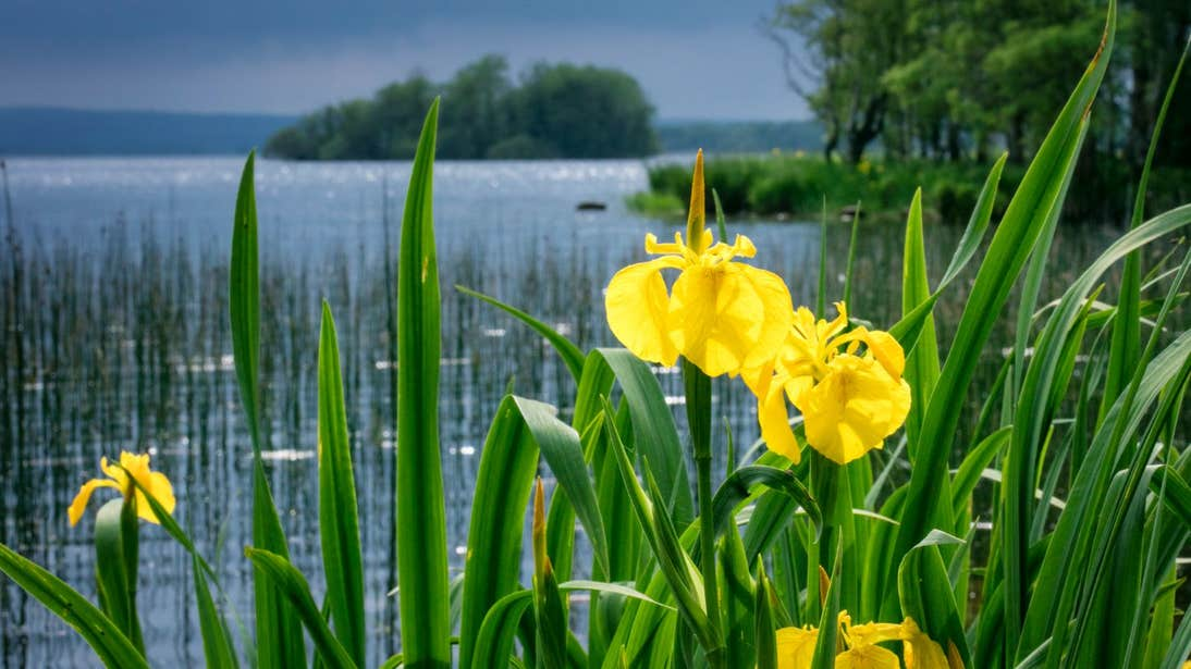 Daffodils in Portumna Forest Park beside Lough Derg, Galway.