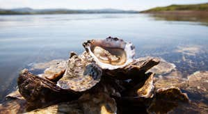 Some DK Connemara Oysters on a rock by the water's edge in County Galway.