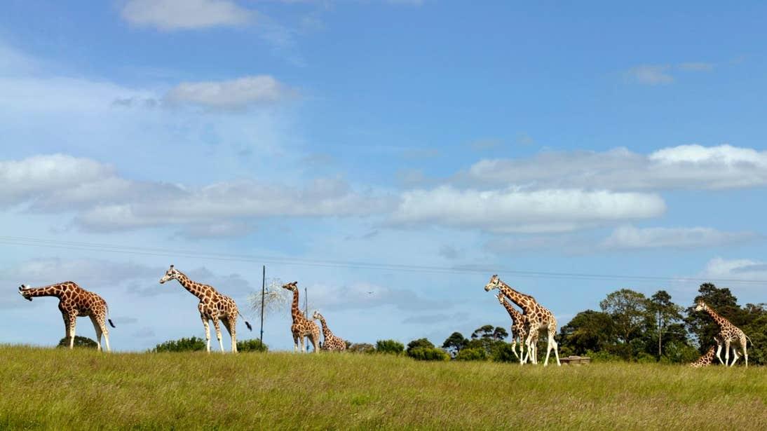 Giraffes walking across a field in Fota Island, Cork