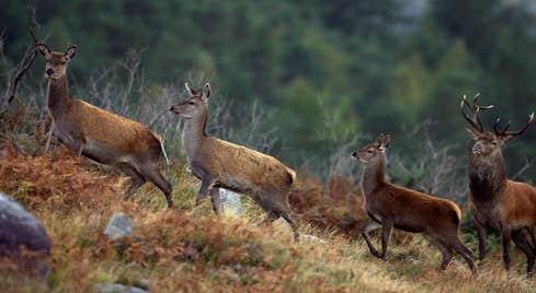 Deer at Killarney National Park, County Kerry.