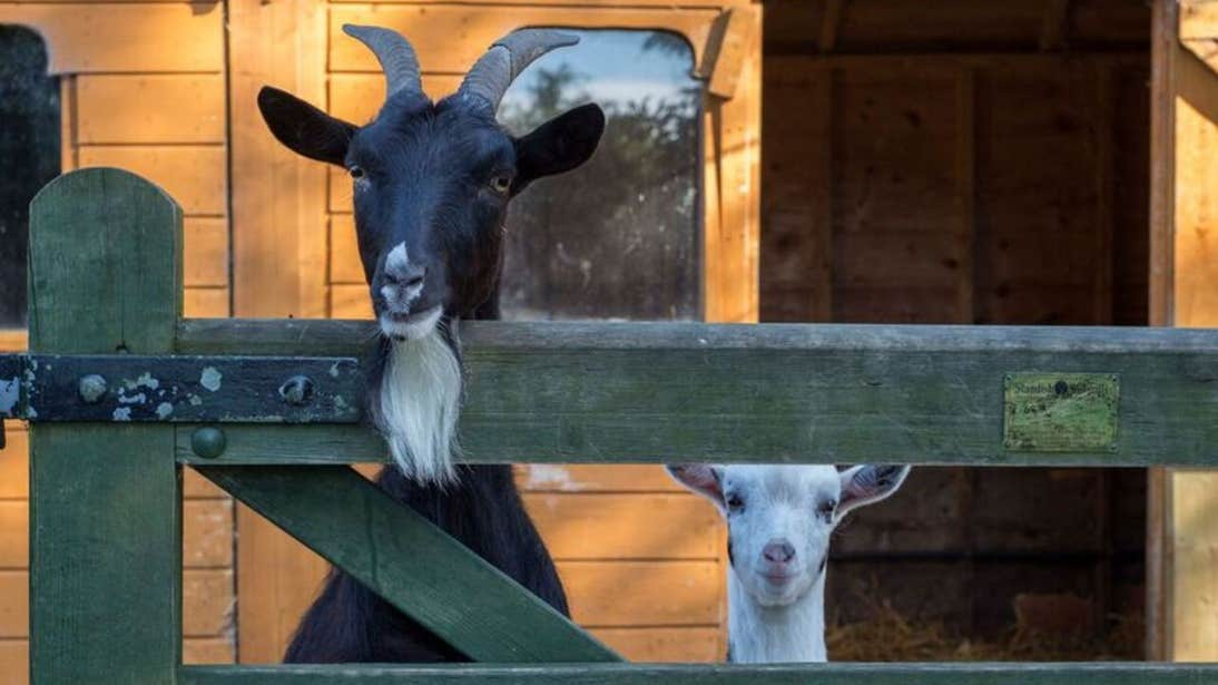 Two goats beside a fence at Lullymore Heritage Park in County Kildare