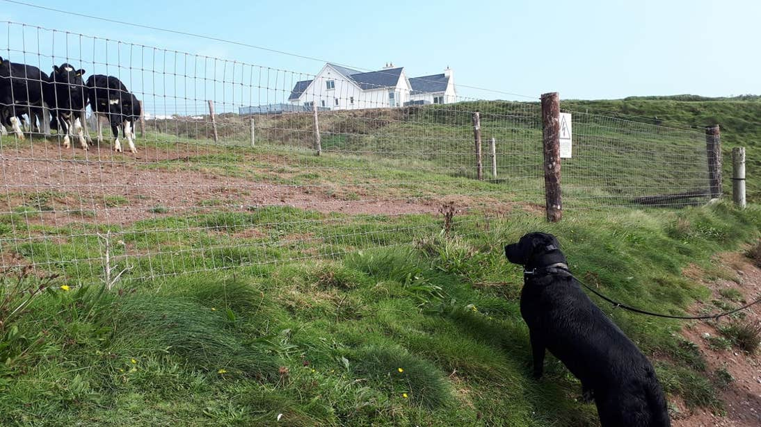 Dog watching cows in Dunmore East, Waterford