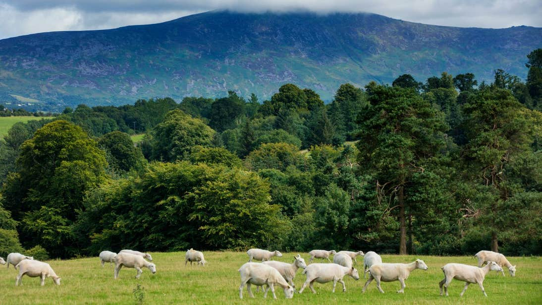 A flock of sheep in front of the Blackstairs Mountains County Carlow
