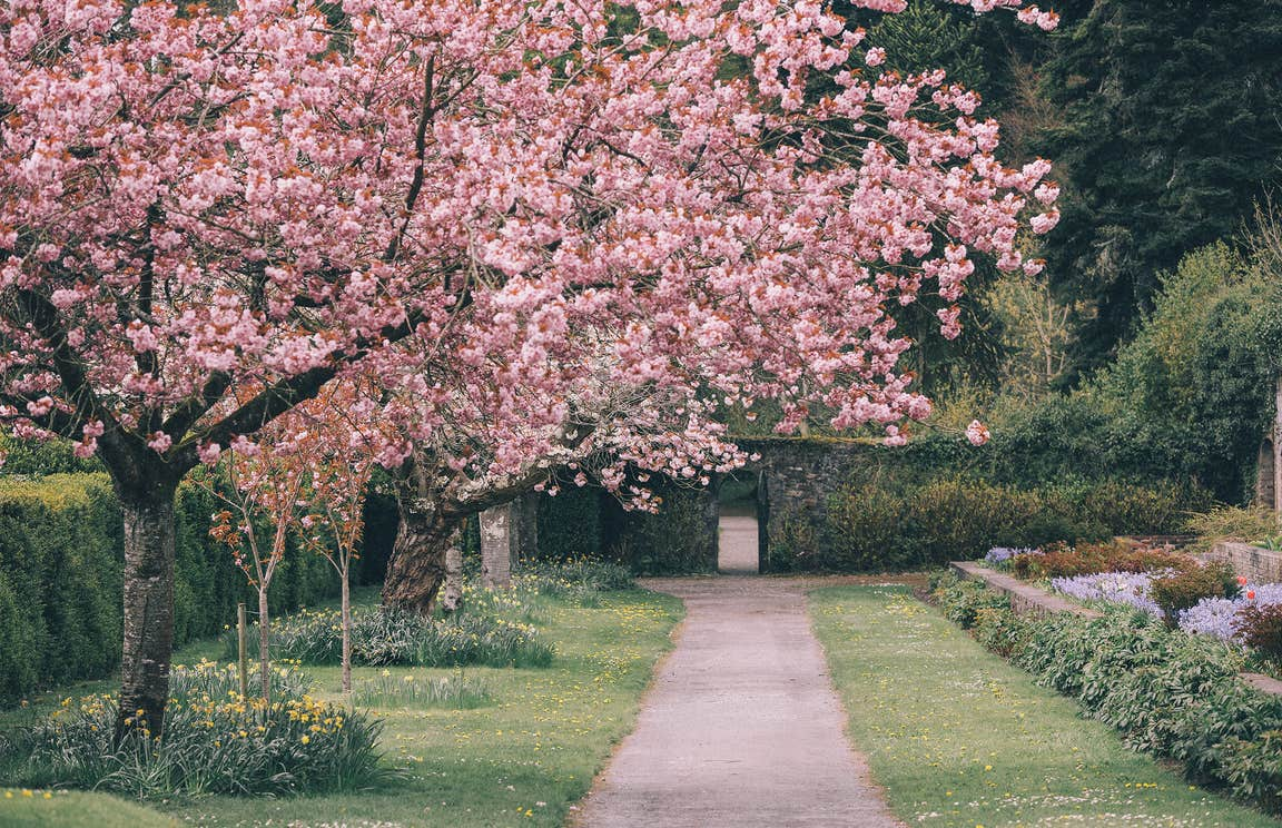 Pink flowering tree beside a path in the gardens at Birr Castle